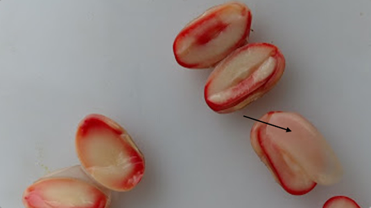 Soybeans showing staining from Tetrazolium testing
