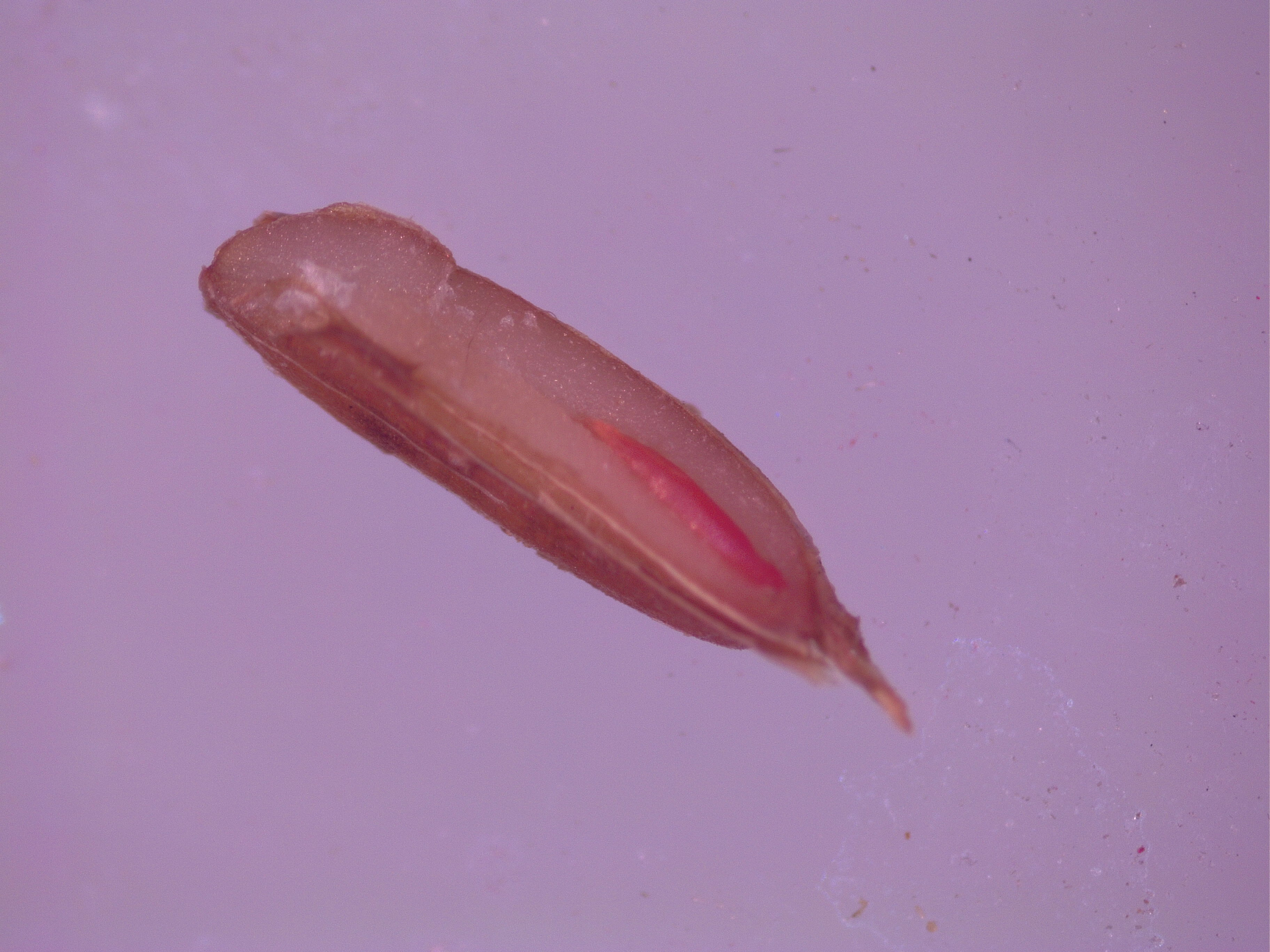 Carrot showing staining from Tetrazolium testing