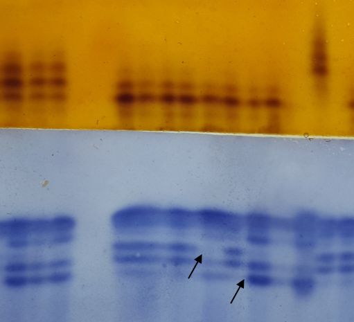 ACP and MDH isozyme patterns on starch gel. Arrows show different patterns.